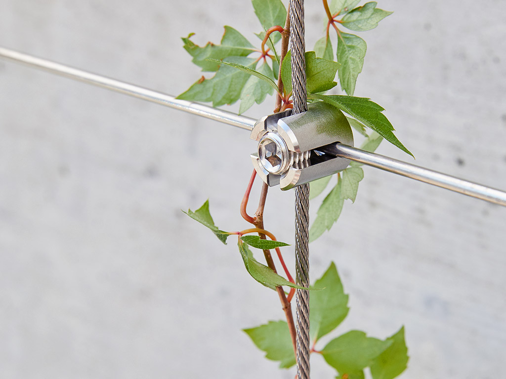 Climbing plant on stainless steel rope