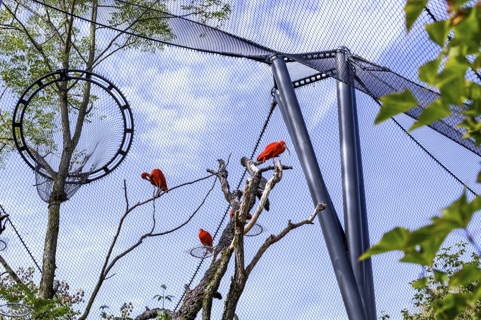 Red birds in animal enclosure made of stainless steel