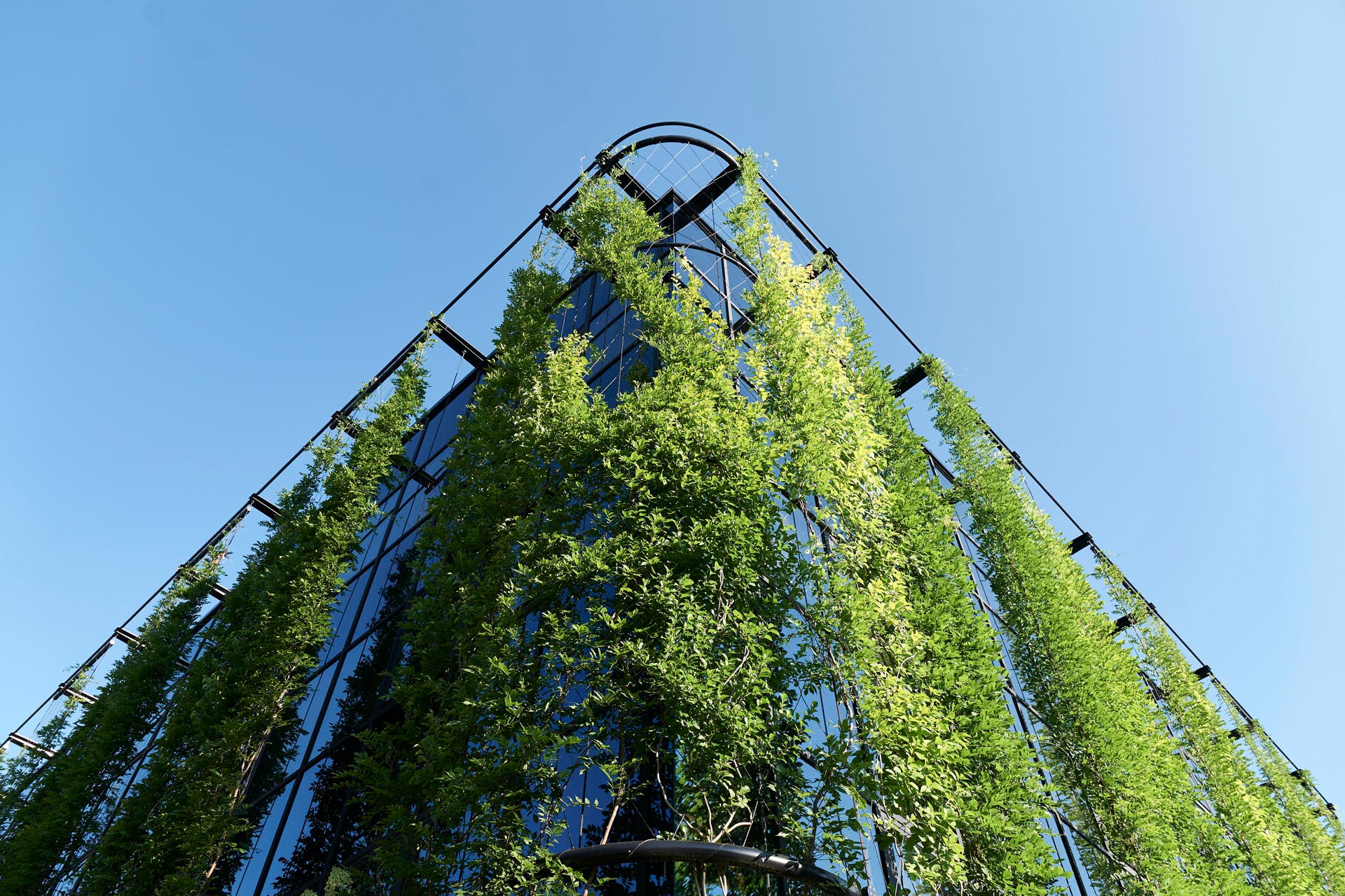 Climbing plants in front of glas facade